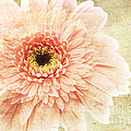 1 Pink Painterly Gerber Daisy by Andee Design