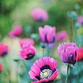 Pink Poppies by Carlina Teteris