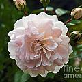 Pink Rose  by Howard Stapleton