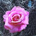 Pink Rose by Robert Floyd