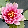 Pink Waterlily by Christiane Schulze Art And Photography