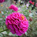 Pink Zinnias by MTBobbins Photography