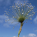 Pipewort Grassland Plants Blooming by Tui De Roy