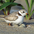 Piping Plover Charadrius Melodus by Tom Vezo
