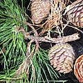 Pitch Pine Cone by Susan Carella
