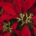 Poinsettia  - Euphorbia Pulcherrima by Sharon Mau