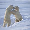 Polar Bear Males Sparring Churchill by Flip Nicklin