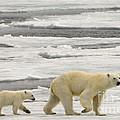 Polar Bear With Cub by John Shaw