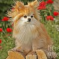 Pomeranian Dog by Rolf Kopfle
