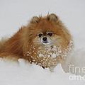 Pomeranian In Snow by John Shaw