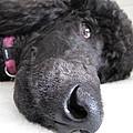 Poodle Close-ups 1 by Jennifer Schwab