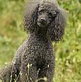 Poodle Dog by Jean-Michel Labat
