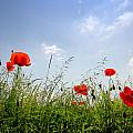 Poppies by TouTouke A Y