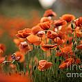 Poppy Dream by Nailia Schwarz