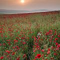 Poppy Field Landscape In Summer Countryside Sunrise by Matthew Gibson