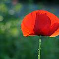 Poppy by Jolly Van der Velden
