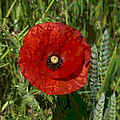 Poppy by Ron Harpham