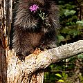 Porcupine    Hystrix Cristata  by Carol Gregory