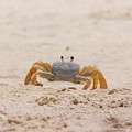 Portrait Of A Ghost Crab by Judy Hall-Folde