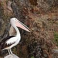 Portrait Of An Australian Pelican by Paul Fell