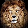 Portrait Of Huge Beautiful Male African Lion Against Black Backg by Aleksandar Mijatovic