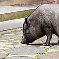 Potbelly Pig by Pati Photography