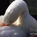Preening Goose by Jeremy Hayden
