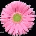 Pretty Pink Gerbera Daisy by Jeannie Rhode