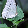 Pretty White Butterfly by Jeremy Hayden