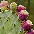 Prickly Pear  by Saija  Lehtonen
