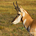 Pronghorn by Fred Stearns