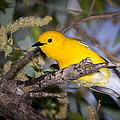Prothonotary Warbler by Jack R Perry