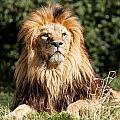 Proud Majestic Lion by Sarah Cheriton-Jones