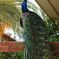 Proud Peacock by Laurel Powell