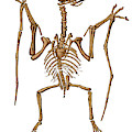 Pterodactylus, Extinct Flying Reptile by Science Source