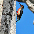 Puerto Rican Woodpecker Endemic by Alan Lenk