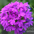 Purely Purple by Susan Herber
