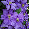 Purple Clematis by Amy Porter