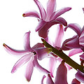 Purple Hyacinth Macro Shot. by Jan Brons