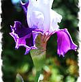 Purple Iris by Steven Baier