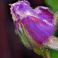 Purple Rose by Bill Owen