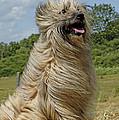 Pyrenean Sheepdog by Jean-Michel Labat