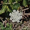 Queen Anne's Lace by Howard Stapleton