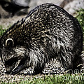 Raccoon by Ronald Grogan