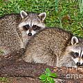 Raccoons by Millard H. Sharp