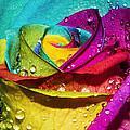 Rainbow Rose by Jason Khan