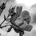 Raindrop Rose Close-up by Charles Feagans