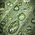 Raindrops On Green Leaf by Elena Elisseeva