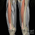Rectus Femoris Muscles by Science Picture Co