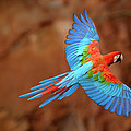 Red And Green Macaw Flying by Pete Oxford